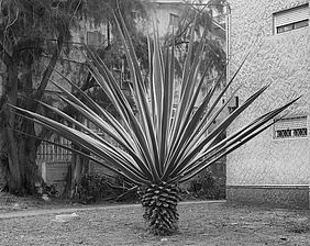Sharon Ya'ari: Agave, Hadera, 2012. Courtesy: Sommer Contemporary Tel Aviv.